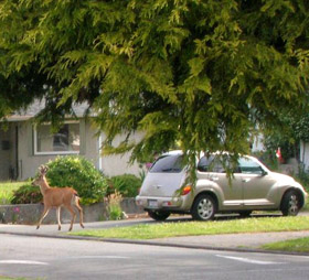 Deer on city street