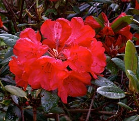 R. 'Elizabeth Red Foliage'