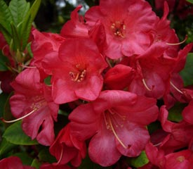 hybrid rhododendron plant description. Black Bedroom Furniture Sets. Home Design Ideas