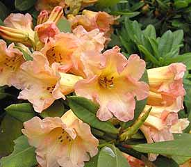 R. 'Goldsworth Orange'