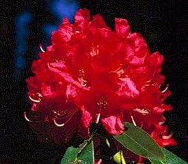 R. 'Ivery's Scarlet'