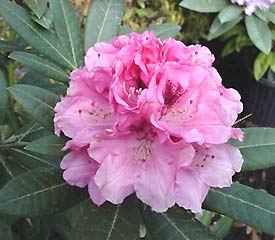 R. 'Noble Mountain'