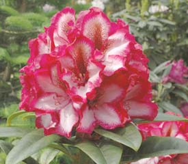 R. 'Pomegranate Splash'