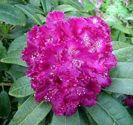 R. 'Purple Lace'