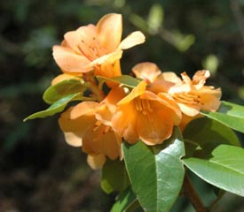 R. 'Trewithan Orange'