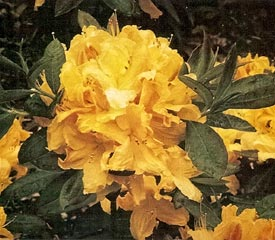 R. 'Vineland Gold'