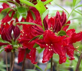 R. 'Wallowa Red'