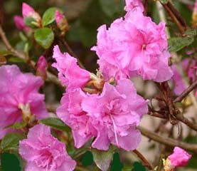 R. 'Weston's Pink Diamond'