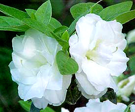 R. 'White Rose Bud'