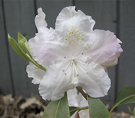 R. 'Angel Powder'
