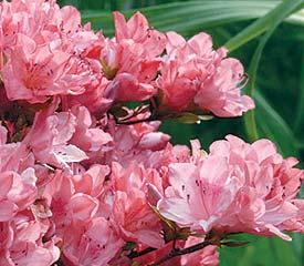 R. 'Blaauw's Pink'