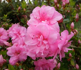 rhododendron single parents What's the difference between azaleas and rhododendrons after learning how they are different, learn about growing some great varieties.