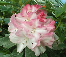 R. 'Lem's Monarch'