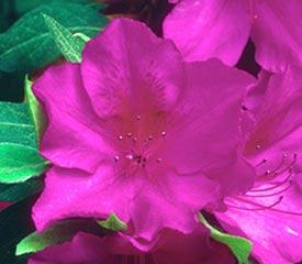 R. 'Phoeniceum'