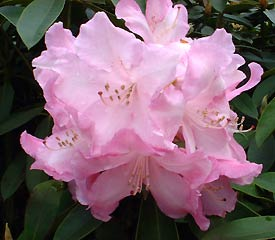 R. 'Pink Pearl'