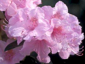 R. 'April Pink'