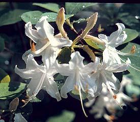 R. atlanticum