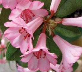 R. 'Cape Cod Cranberry'