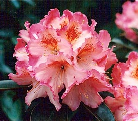 R. 'Coral Mist'
