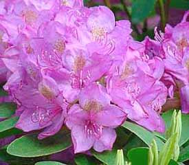 hybrid rhododendron plant description. Black Bedroom Furniture Sets. Home Design Ideas