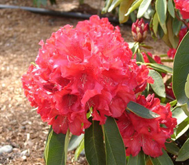 R. 'Briggs Red Star'